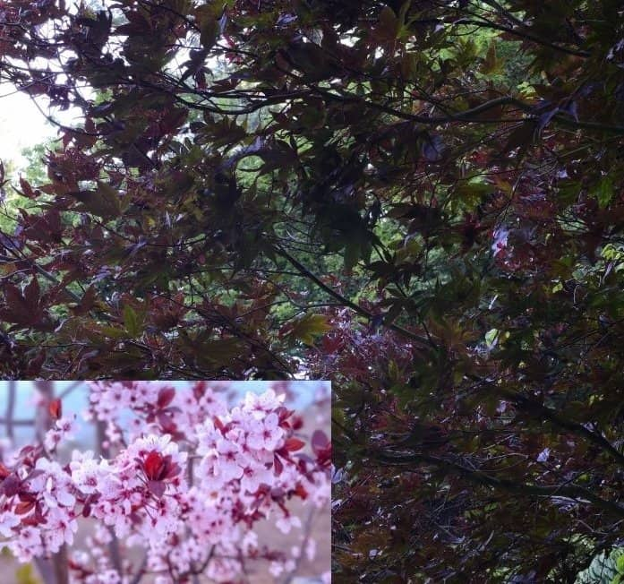 16. Purple leaf plum tree w inset