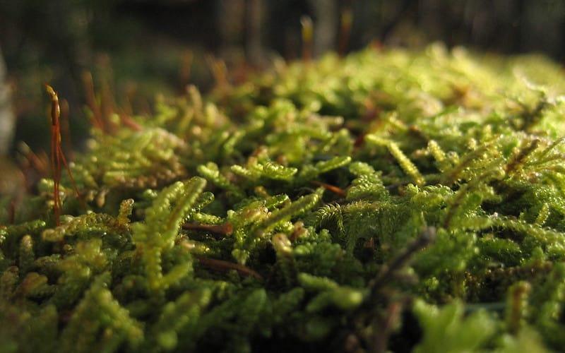 17 Fairy Moss