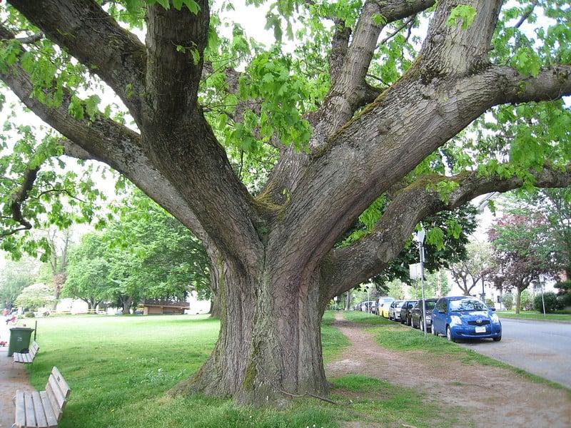 17 Northern Red Oak