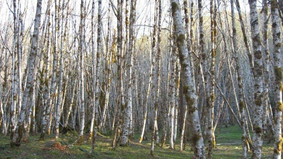 17. White Alder tree