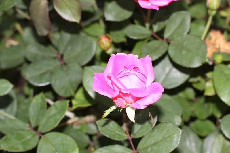 18 Rose Shrubs