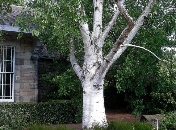 18. Himalayan Birch tree