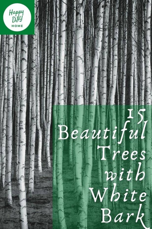 2 15 Beautiful trees with white bark