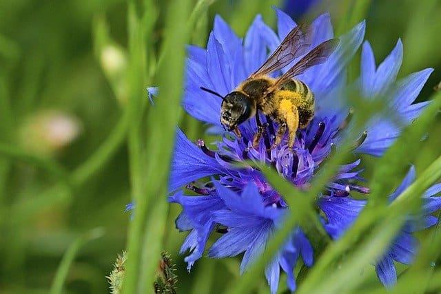 2 Cornflowers sweet nectar
