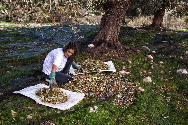 2 Harvesting Olives