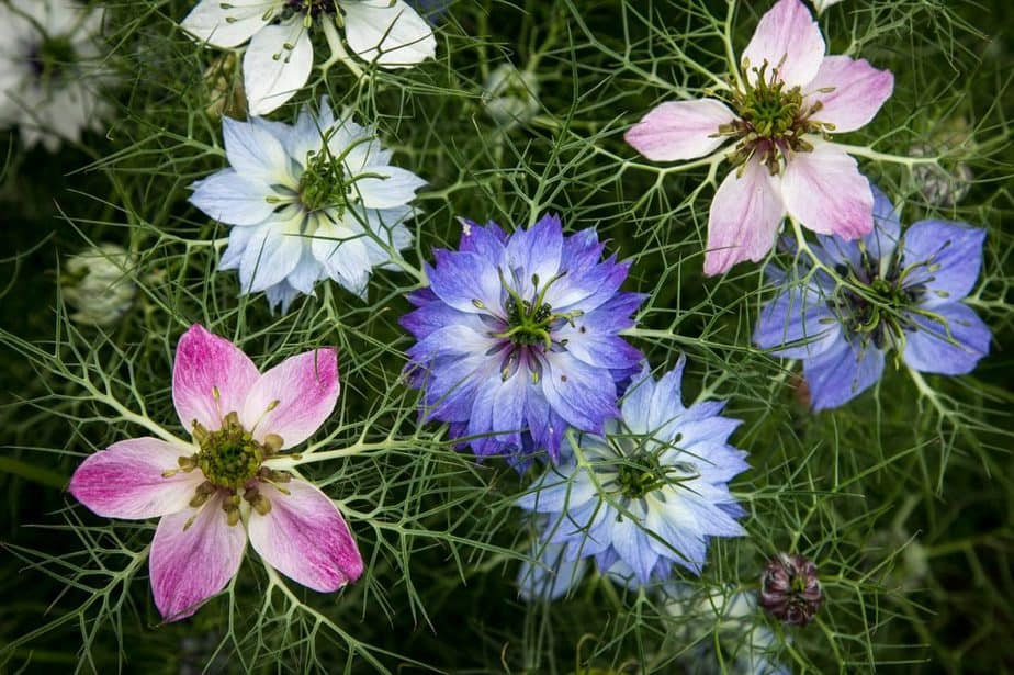 2 Love in a Mist Mixed Colors
