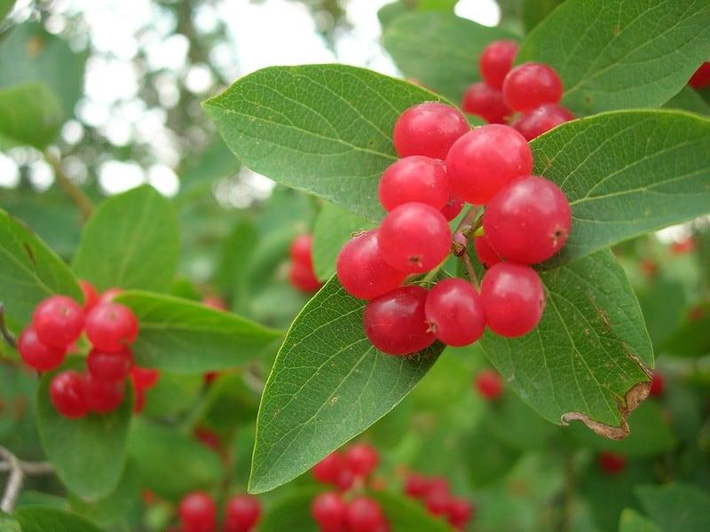 2 Pin Cherries