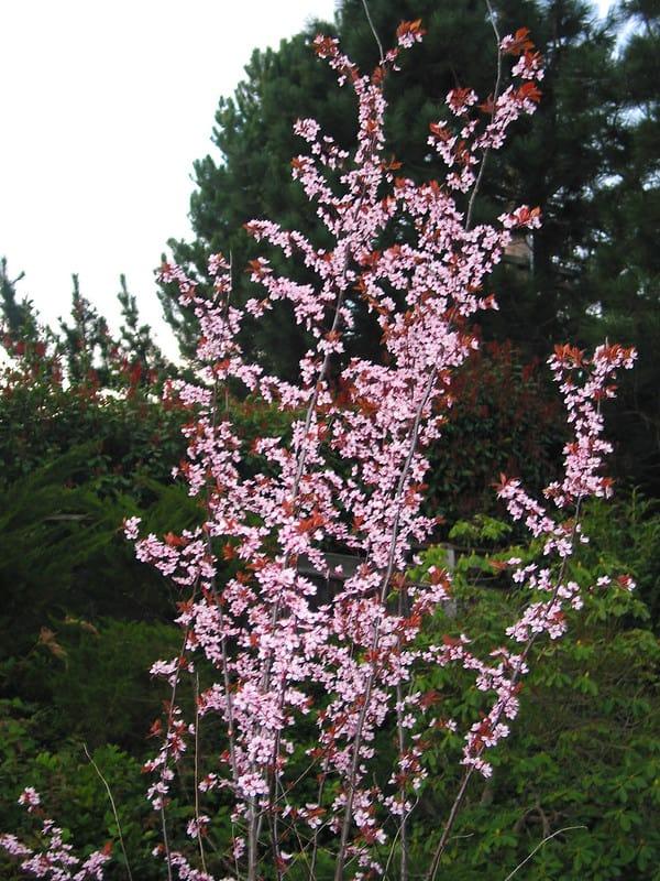 3 Crimson Pointe Flowering Plum
