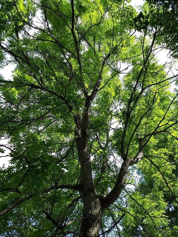 3 Kentucky Coffeetree