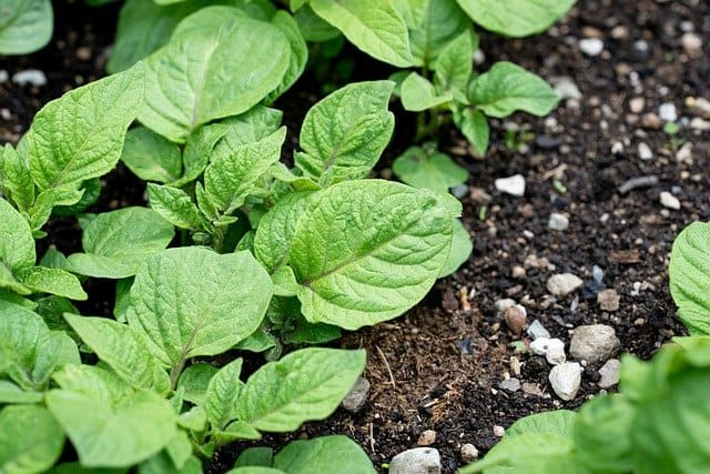 3 Potatoes grow well alongside horseradish