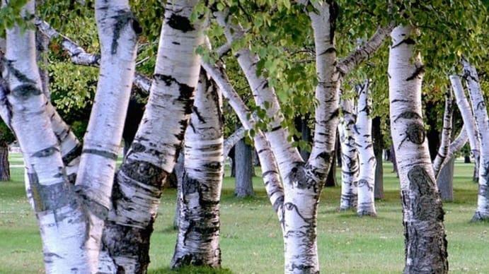 3. Birch trees