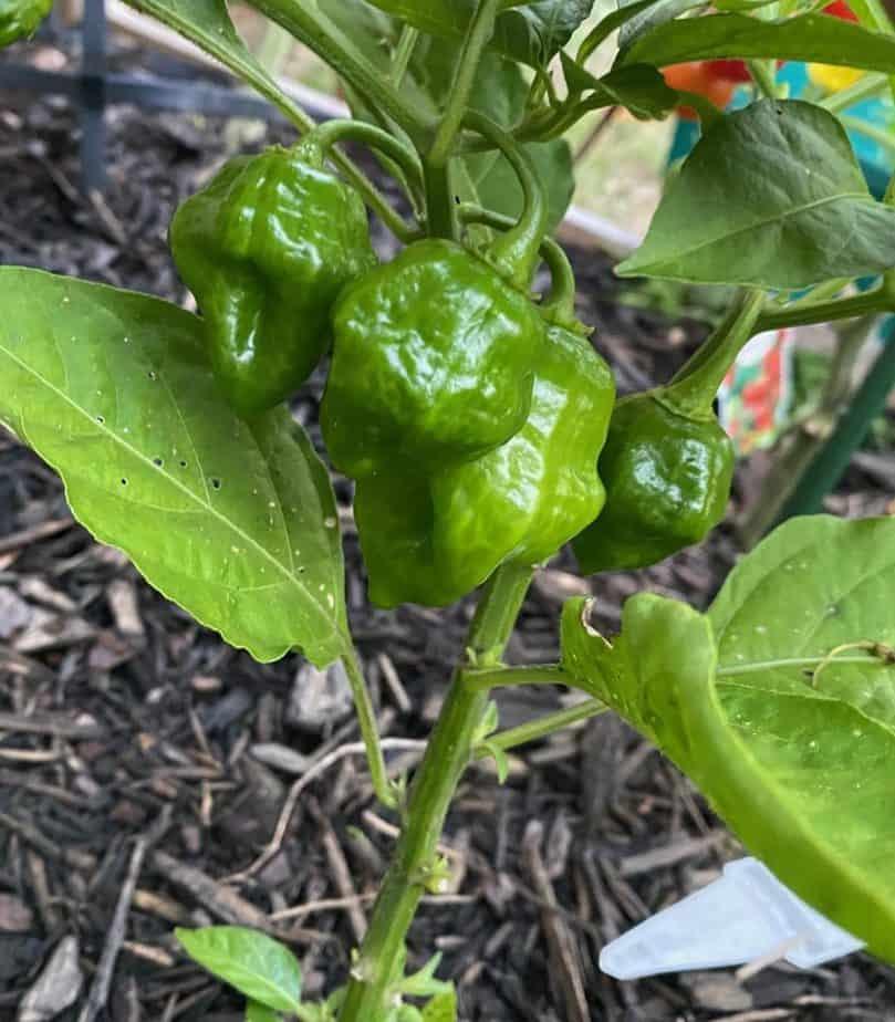 3. Habenaro Peppers