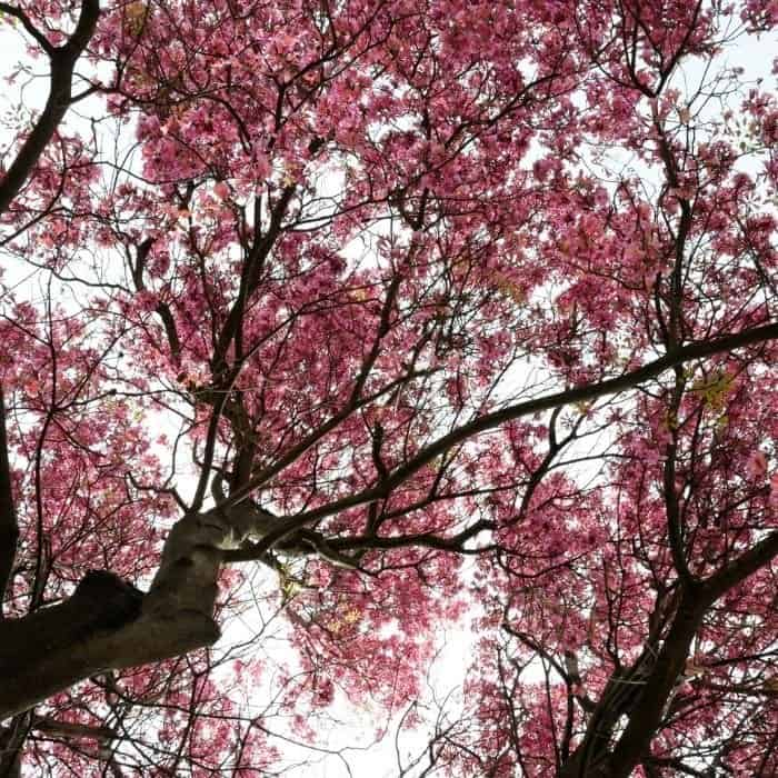 3. Pink trumpet tree