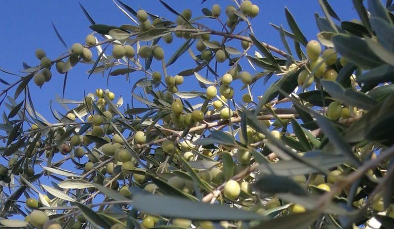4 Arbequina Olives