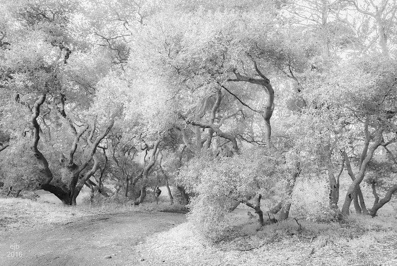 4 California White Oak