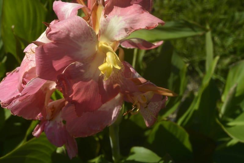 4 Canna Lily