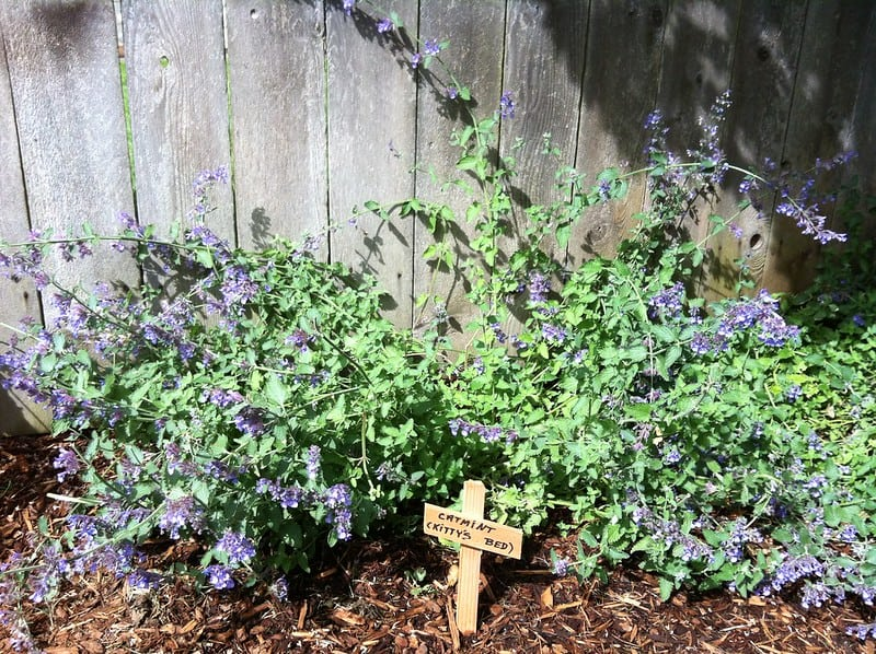4 Catmint