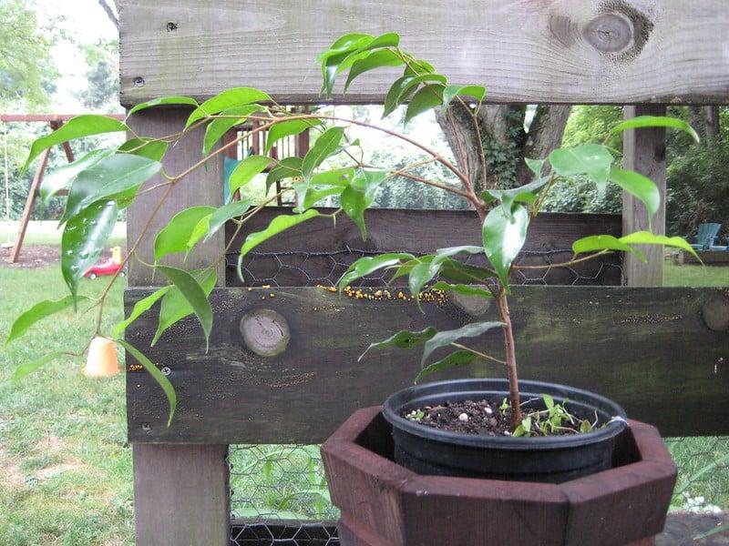 4 Ficus