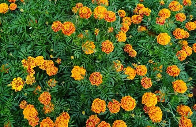 4 Marigolds have many benefits