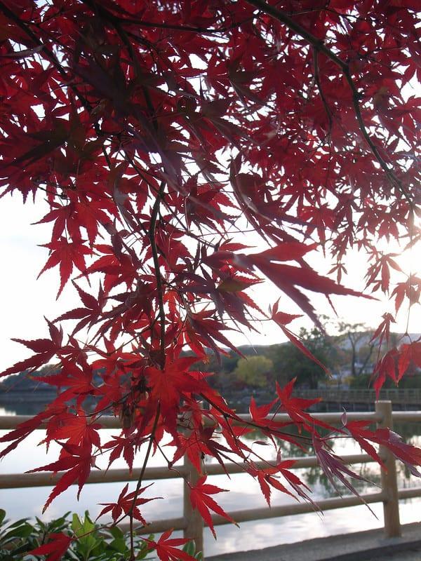 4 Tsukasa Silhouette Japanese Maple
