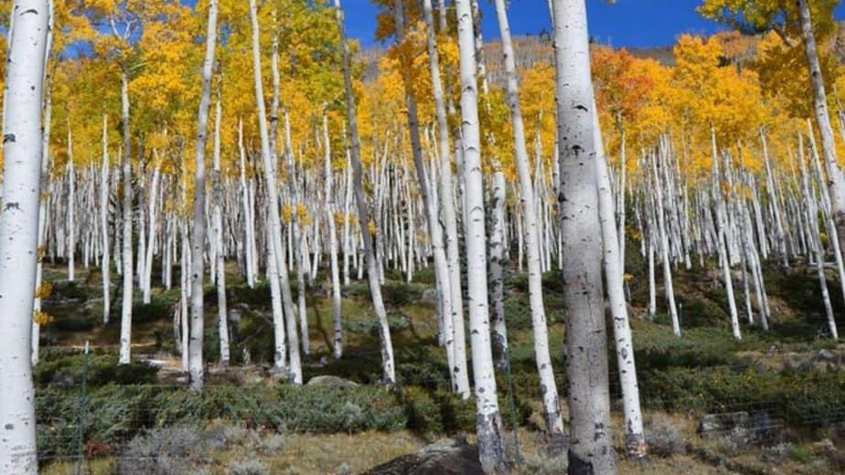 4. Aspen trees
