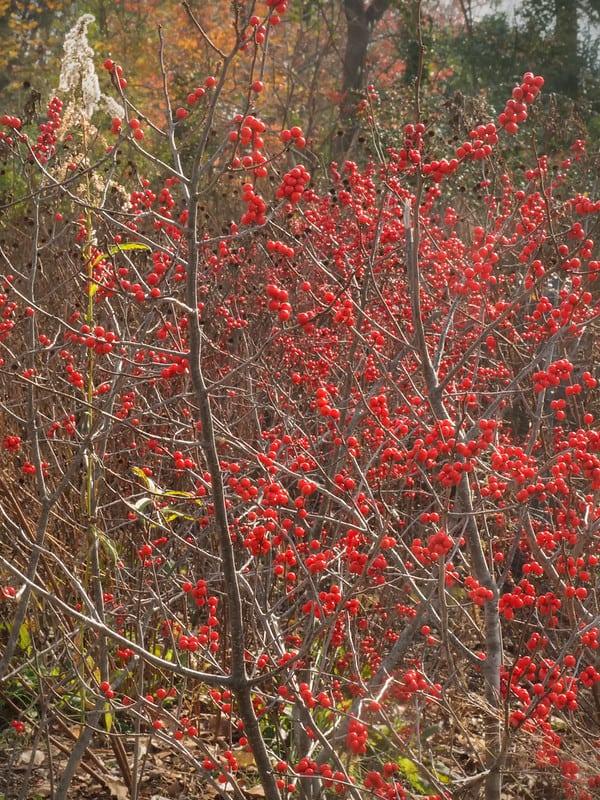 5 Red Chokeberry Bush