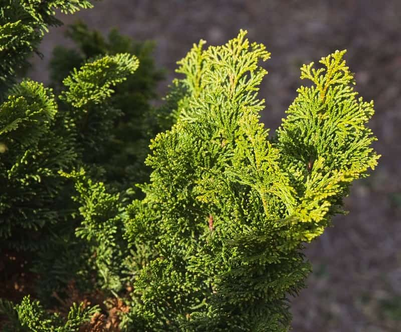 5 Slender Hinoki Cypress