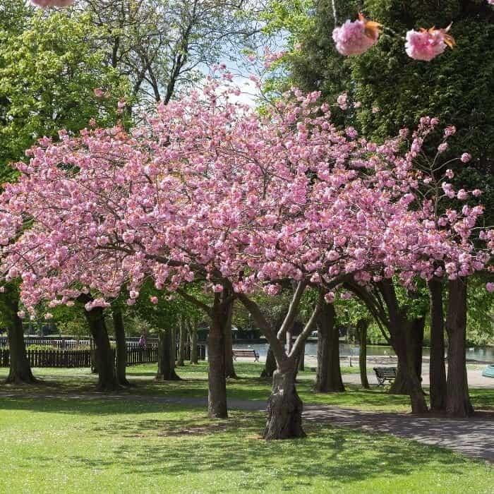 5. Cherry Blossom Accolade