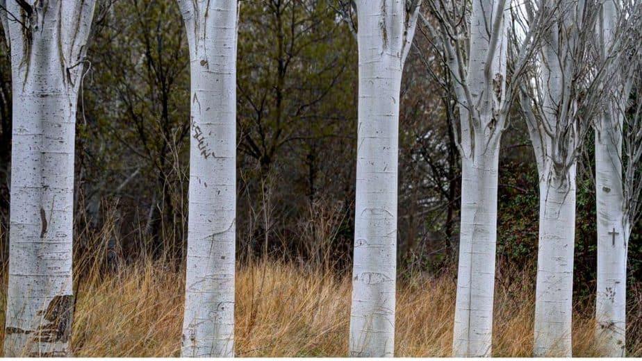 5. Poplar Trees
