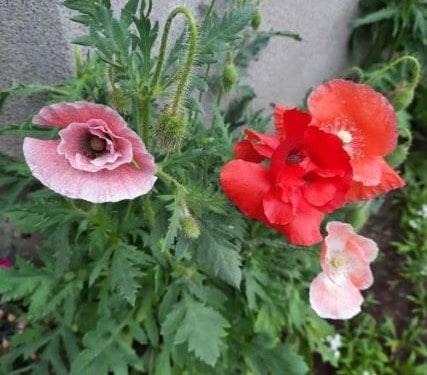 5. Poppy