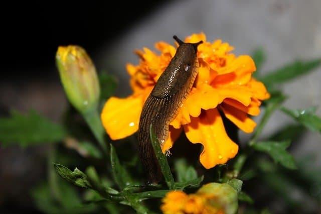 6 Control slugs in garden