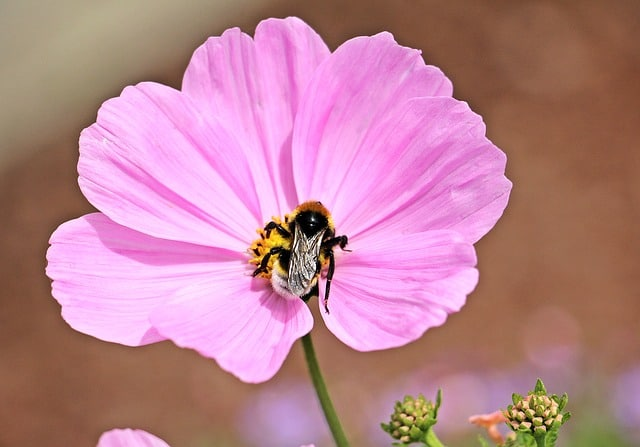 6 Large open cosmos flowers
