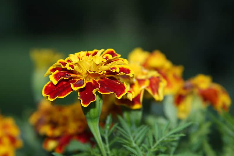 6 Marigold
