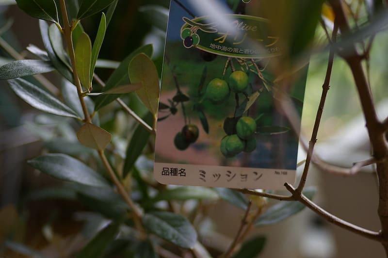 6 Mission Olives