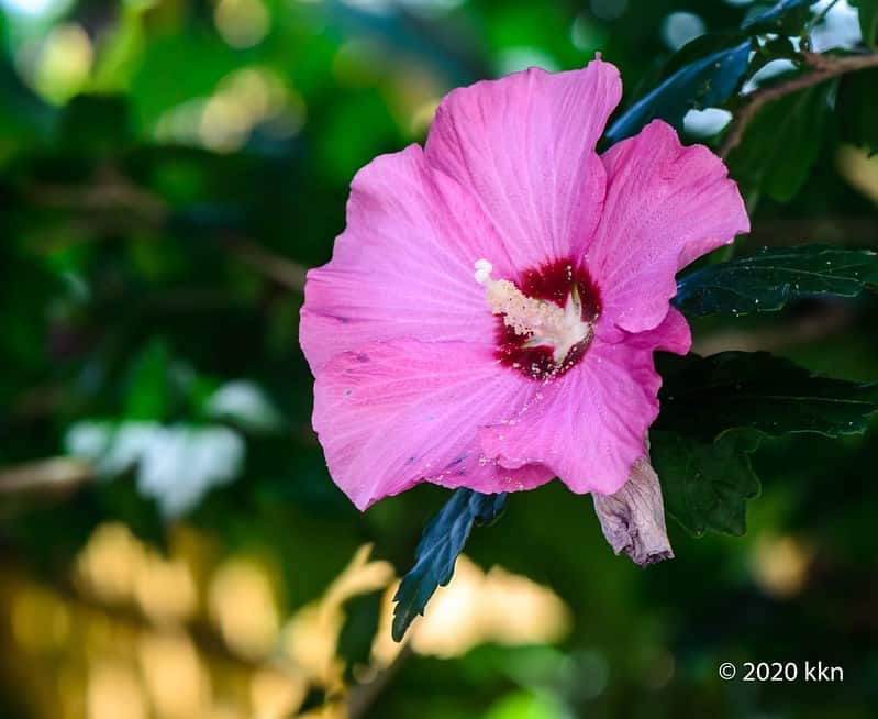 6 Rose of Sharon