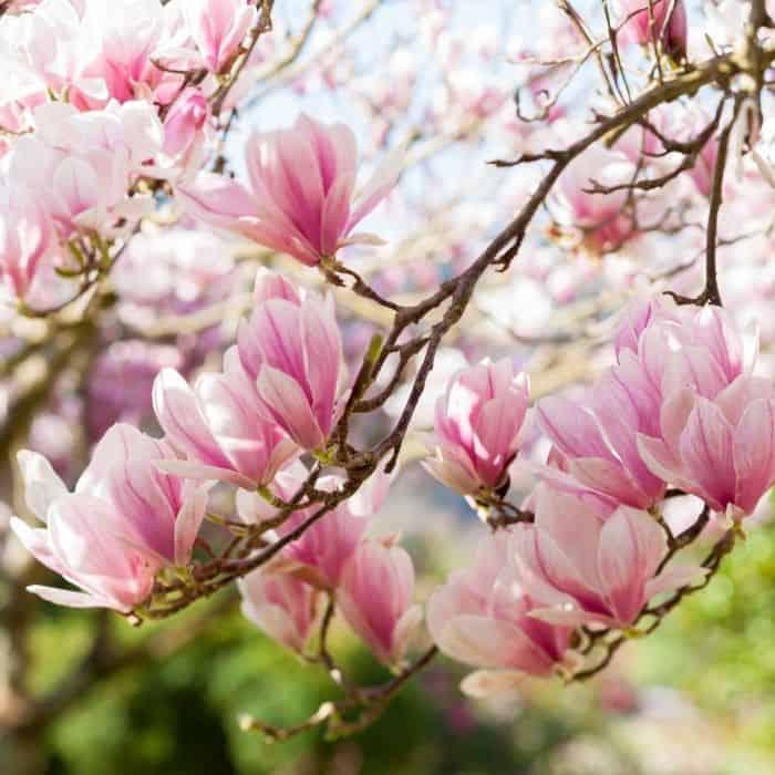 6. Magnolia tree