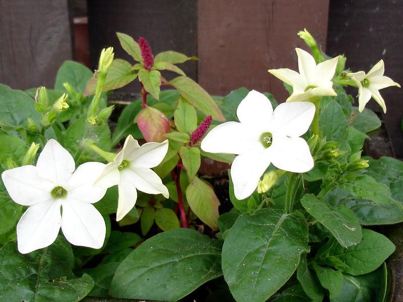 7 Flowering Tobacco