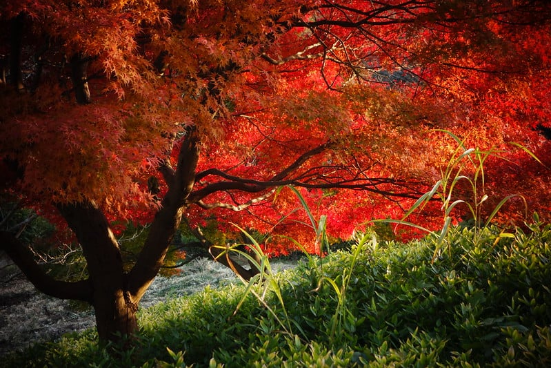 7 Red Maple