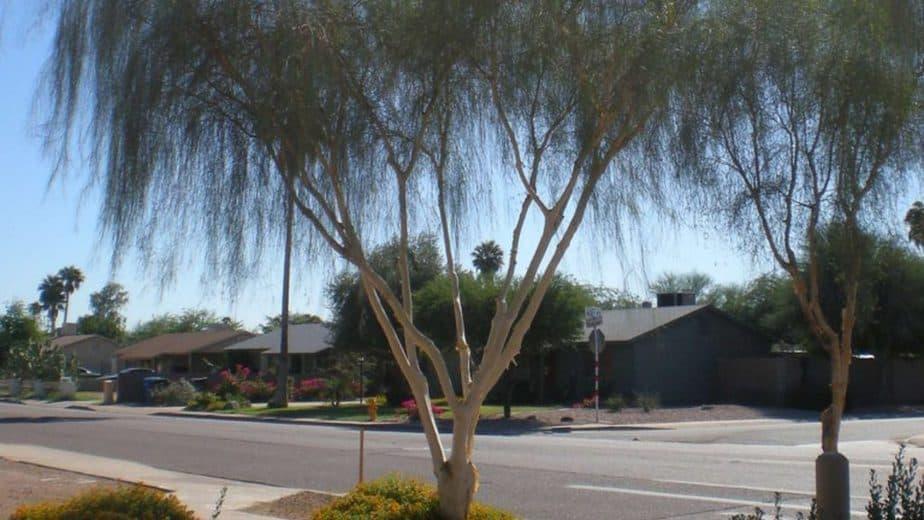 7. Palo Blanco tree