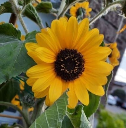 7. Sunflower