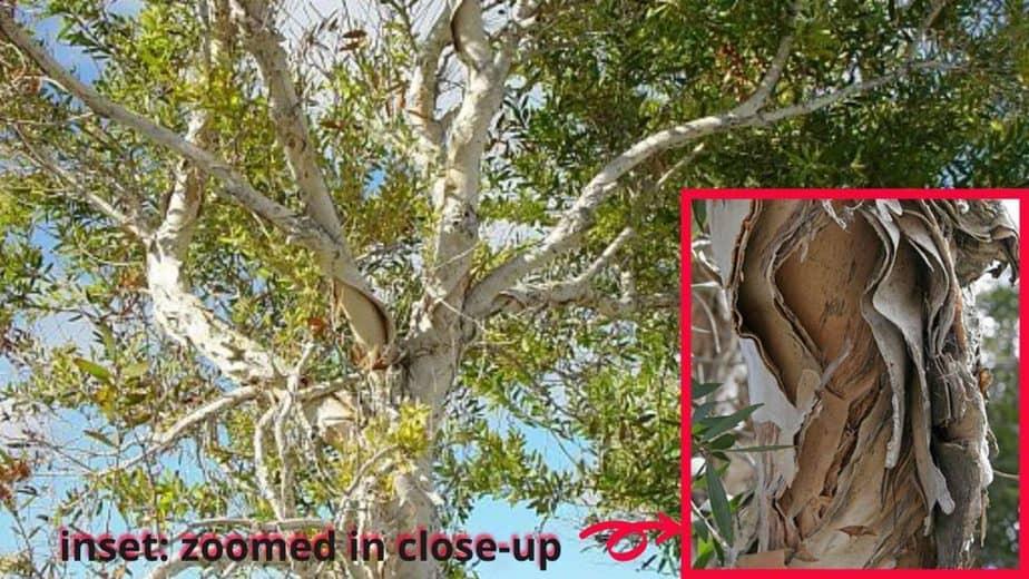 8. Paperbark tree w inset