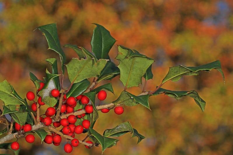 9 American Holly Tree