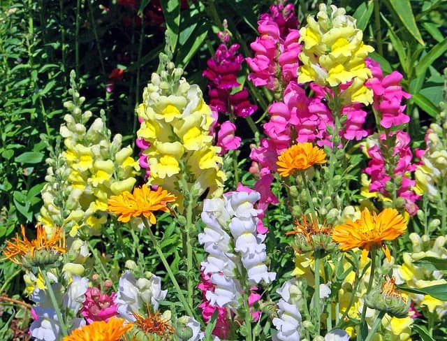 9 Bees love snapdragons