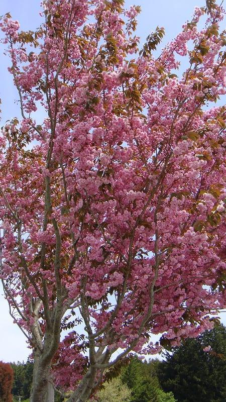 9 Japanese Flagpole Flowering Cherry Tree
