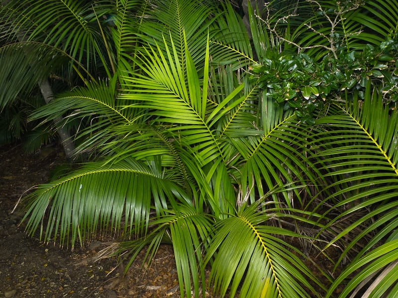 9 Kentia Palm