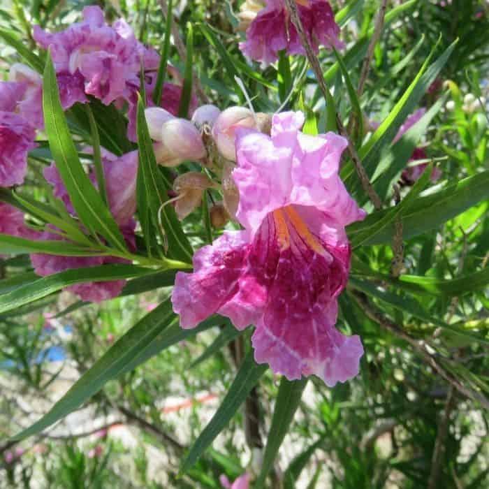 9. Desert willow tree