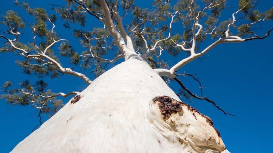 9. Ghost gum tree