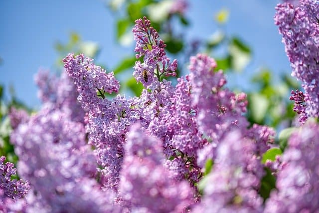 9. Lilac