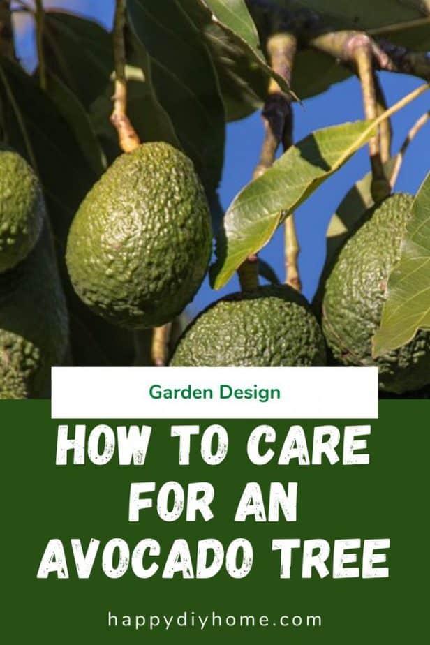 Avocado tree 1