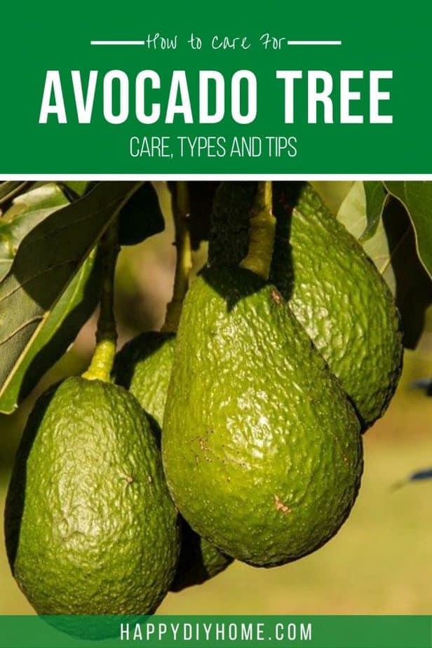 Avocado tree 2